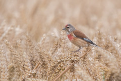 Cereal Thriller (Tim Melling) Tags: linnet linaria cannabina wheat cereal west yorkshire timmelling