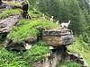 Ziegen in Österreich (Christoph Scholz) Tags: alpen berge gebirge österreich ziege bock ziegenbock tier vorsprung wolle alm wirtschaft urlaub reisen