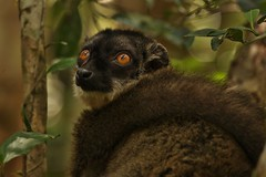 IMG_7815 Common Brown Lemur (Eulemur fulvus) (Kalina1966) Tags: madagascar animals lemur coth5