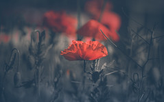 Red Poppy (Dhina A) Tags: sony a7rii ilce7rm2 a7r2 a7r malik triolam 100mm f29 france anastigmat 29 maliktriolamfranceanastigmat100mmf29 slide projection projector lens french flower bokeh wildflower poppy red