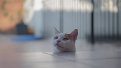 My boy (louis_de_finess) Tags: cat cute bokeh portrait animal white ginger orange yellow eye eyes canon eos rebel sl2 50mm f18 18 stm 100d chat roux rouqin poil regard coquin chill tête head face