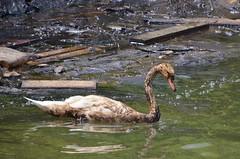 Zwaan vervuilt door de Bow Jubail (Hugo Sluimer) Tags: portofrotterdam port rotterdam zuidholland nederland holland haven nlrtm onzehaven
