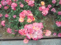 613 (en-ri) Tags: rose roses cespuglio bush sony sonysti
