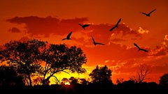 Landscape of Africa with warm sunset (EdebiyatKitap) Tags: africa african animal background beautiful beauty big bird birds black bush cloud clouds color colorful dramatic dusk evening flock forest ibis kruger land landscape light national natural nature orange outdoor park red reserve safari scene scenery silhouette sky south summer sun sunlight sunset tourism travel tree warm wild wildlife yellow lebanon
