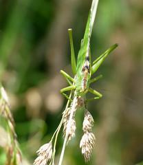 Great Green Bush-cricket (Tettigonia viridissima) male (berniedup) Tags: greatgreenbushcricket tettigoniaviridissima greenbushcricket taxonomy:binomial=tettigoniaviridissima bushcricket tettigoniidae katydid grandhazé briouze normandy