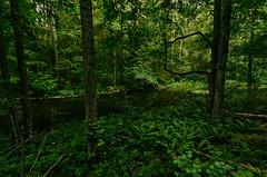 IMG_1637-copy (jorma.) Tags: estonia eesti suvi cinematic atmospheric dreamy looduspilt loodusfoto loodusfotograafia summer wilderness põlva põlvamaa taevaskoda taevaskoja primeval ürgloodus ürgmets oldgrowthforest forest lush green roheline rohelus lopsakas maastik loodus