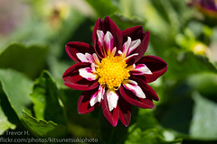 Dahlia 2 (Kenjis9965) Tags: sonya7iii sony a7 iii mark 90mm f28 g oss macro nature flowers growing outside vibrant colorful punchy saturated gorgeous dahlia plan garden
