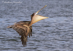 brown pelican (amaw) Tags: typical alt