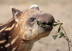 South american tapir Artis JN6A0845 (j.a.kok) Tags: tapir southamerica southamericantapir zuidamerika zuidamerikaansetapir animal artis mammal zoogdier dier herbivore babytapir