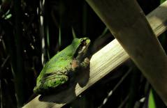 Pseudacris regilla (TJ Gehling) Tags: amphibia frog chorusfrog treefrog pacificchorusfrog pacifictreefrog pseudacris pseudacrisregilla pond canyontrailpark elcerrito