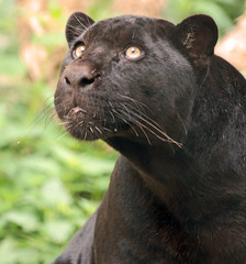 Jaguar Artis JN6A1016 (j.a.kok) Tags: jaguar zwartejaguar blackjaguar kat cat animal artis zoogdier zuidamerika southamerica mammal predator pantheraonca neron leya leia