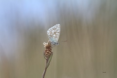 Argus bleu (aracobis) Tags: hélios44258mm canon7d vintagelens argusbleu papillon prairies macroetproxi
