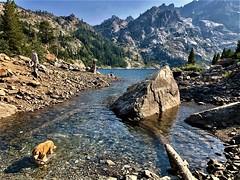 First Swim (The VIKINGS are Coming!) Tags: sardinelake sierras dog stick fetch swim summer california goldenretriever hiking hike