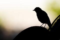 Contre-jour - Backlight (bboozoo) Tags: nature animal wildlife moineau sparrow contrejour backlight canon6d tamron150600 noir black light lumière