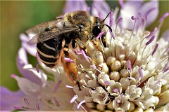 Working Girl (Nacho RV) Tags: smileonsatuday uniflona bee insect insecto abeja cof035dmnq cofo35lete cof035mari cof035ally cof035chon