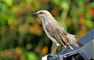 Tropical Mockingbird in Paramaribo, Suriname