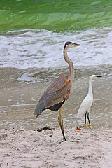 Great Blue Heron & Snowy Egret, Sand Key Park Beach, Florida (gg1electrice60) Tags: sandkey sandkeypark barrierisland beach surf shoreline seashore waves sand saltwater gulfofmexico pinellascounty clearwater florida fl unitedstates usa us america sandbar countypark swiming wading tanning firestation44 950gulfboulevard 950gulfblvd countyroadnumber183 countyrdno183 countyroad183 countyrdnumber699 countyroadno699 cr699 firestationnumber44 firestationno44 greatblueheron snowyegret shorebirds birds