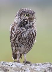 Soaked wet little owl (bilska.anna) Tags: