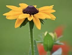 Black-eyed Susan (MJ Harbey) Tags: flower blackeyedsusan rudbeckiahirta coneflower jardindesplantes lemans paysdumans france nikon d3300 nikond3300