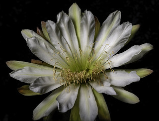 Night Blooming Cactus Flower In The Early Morning