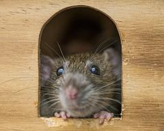 At the window (Tambako the Jaguar) Tags: rat rodent female pet cute gray dark window portrait face close macro hands zürich switzerland nikon d5