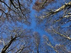 Robles en la Cordillera de la Costa (Mono Andes) Tags: chile chilecentral concepción regióndelbiobío bosque nothofagusobliqua fagaceae cordilleradelacosta hualle