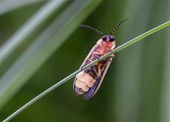 Hello! (arlene sopranzetti) Tags: firefly lightning bug nj lampyridae funny