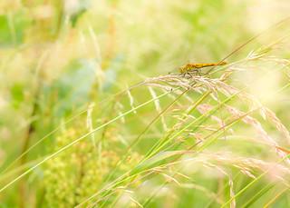 Orthetrum reticulée dans une prairie de l'Avesnois.
