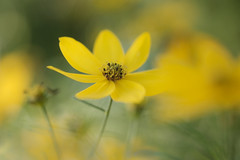 la belle se cache (christophe.laigle) Tags: christophelaigle fleur macro nature flower fuji jaune xpro2 xf60mm yellow flowersarefabulous