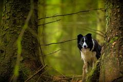 A Peekaboo (JJFET) Tags: border collie dog dogs sheepdog herding
