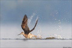 Greater Yellowlegs Antics. (Daniel Cadieux) Tags: yellowlegs greateryellowlegs splash splashing ottawariver ottawa shorebird action