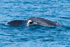 AHK_6751 (ah_kopelman) Tags: unkmncresli2018080802 2018 cresli creslivikingfleetwhalewatch megapteranovaeangliae montaukny vikingfleet vikingstarship abrasionsandentanglementscarsonpeduncle calfofunkmncresli2018070801 humpbackwhale whalewatch