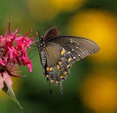 Garden of Delights (Slow Turning) Tags: papiliopolyxenes blackswallowtail butterfly insect ventral nectaring foraging forage flower blossom beebalm mondarda summer southernontario canada closeup