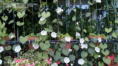 Morning Glory (White with purple rays) flowering on balcony railings 10th August 2018 (D@viD_2.011) Tags: morning glory flowering balcony railings 10th august 2018