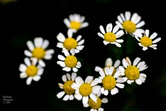 Daisys (rumerbob) Tags: daisy macro macroflower macrophotography flower floral flowergarden fauna flowerphoto botany botanicalgardens botanical nature naturewatcher naturephotography canon7dmarkii canon100mmmacrolens