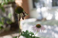 Echinacea in poor health (artseejodee) Tags: garden august echinacea newjersey flowers plants gardening