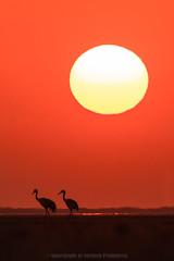 A walk under the Sun (Moving Iris) Tags: sunset sun sunlight silhouette birdphotography bird birding nature nikkor200500vr nikkor nikonindia nikond500 nikon crane
