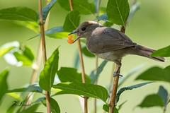 Fauvette à tête noire (sfrancois73) Tags: oiseau jardin fauvetteàtêtenoire faune