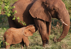 Nursing      ( Explored ) (hbp_pix) Tags: hbppix harry powers samburu park kenya elephant giraffe zebra