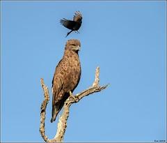 Brown-Snake-Eagle__AM07580 (SueM59) Tags: birds brownsnakeeagle knp may2018 raptors
