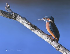 Martin Pêcheur (MalcedoP) Tags: loire kingfisher