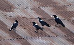 Pied Crow (jd.willson) Tags: jd willson jdwillson nature wildlife birds birding africa tanzania arusha urban pied crow
