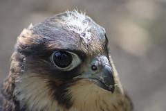 Bird of Prey (Glenn Pye) Tags: birds bird wildlife nature birdsofprey nikon nikond7200