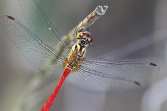 dragonfly (seiji2012) Tags: 昭和記念公園 立川市 マクロ 接写 insect macro
