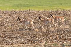 Pronghorn bucks on the move