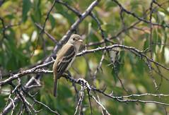 Willow Flycatcher/ Cherry Creek State Park (eddyandtroymike@yahoo.com) Tags: flycatcher birds colorado