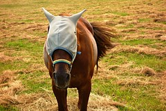 Horse on pasture (Yirka51) Tags: harassment tail head slashing hay covered blowhole ears bridle plaid blanket fly summer nature meadow mammal horse helmet hat grass fauna farming environment ecology countryside country animal agriculture