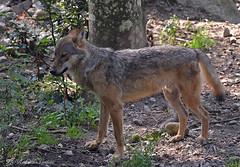 Lupo _019 (Rolando CRINITI) Tags: lupo mammiferi cattività spormaggiore parcofaunisticodispormaggiore