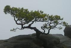 Berühmtheit (isajachevalier) Tags: elbsandsteingebirge sächsischeschweiz kiefer pflanze baum natur sachsen panasonicdmcfz150