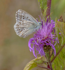 DSC9627  Chalkhill Blue.. (jefflack Wildlife&Nature) Tags: chalkhillblue chalkhill butterflies butterfly lepidoptera insects insect wildlife wildlifephotography grasslands countryside copse glades jefflackphotography heathland heaths heathlands nectaring flowers wildflowers somerset nature